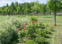 Розовые кусты, поселок Онегино